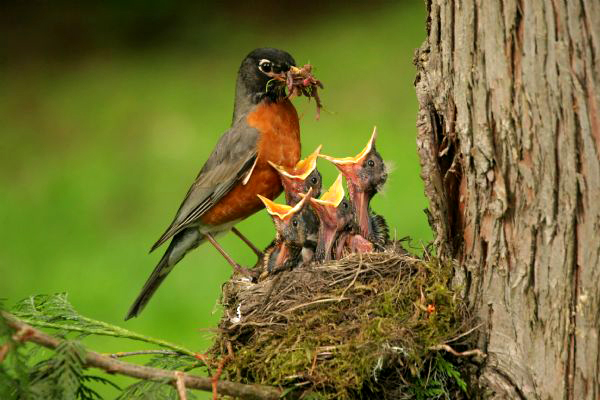Hungry-Baby-Birds-being-fed